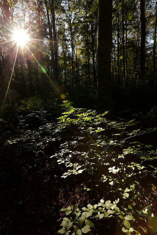 Sunlight through the leaves of Brezovac forest, Dinara mountain, Croatia.