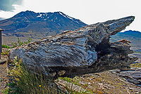 Mount St Helens, Washington State, USA, which last erupted in May, 1980. The rocks and uprooted plants from the eruption have been deliberately left where they landed to illustrate the force of the volcanic action. 200809020899.<br /> <br /> Copyright Image from Victor Patterson, Belfast, UK<br /> <br /> t: +44 28 9066 1296 (from Rep of Ireland 048 9066 1296)<br /> m: +44 7802 353836<br /> e: victorpattersonbelfast@gmail.com<br /> <br /> www.images4media.com the new website which will ultimately replace  www.victorpatterson.com<br /> <br /> Please see my full Terms and Conditions of Use at https://www.victorpatterson.com/page2<br /> It is IMPORTANT that you familiarise yourself with them.<br /> <br /> Images used on the Internet incur an additional cost and must be visibly watermarked i.e. © Victor Patterson or that of the named photographer within the body of the image. The online image must retain all the original metadata. Any changes must be agreed in writing.<br /> <br /> This image is only available for the use of the download recipient i.e. television station, newspaper, magazine, book publisher, etc, and must not be passed on to a third party. It is also downloaded on condition that each and every usage is notified within 7 days to victorpattersonbelfast@gmail.com.<br /> <br /> The right of Victor Patterson (or the named photographer) to be identified as the author is asserted in accordance with The Copyright Designs And Patents Act (1988). All moral rights are asserted.