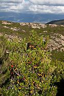 Corsica. France. Agriates desert , in Nebbio area, Corsica North, France / desert des Agriates dans le Nebbio, Corse nord