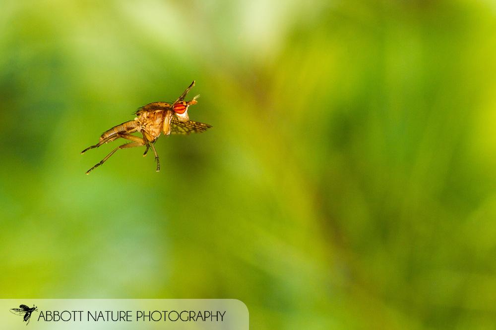 Marsh Fly (Euthycera arcuata) flying<br /> United States: Alabama: Tuscaloosa Co.<br /> Tulip Tree Springs off Echola Rd.; Elrod<br /> 8-Oct-2016<br /> J.C. Abbott #2873
