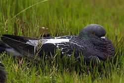 Rock Pigeon (Columba livia), Baylands Nature Preserve, Palo Alto, California, United States of America