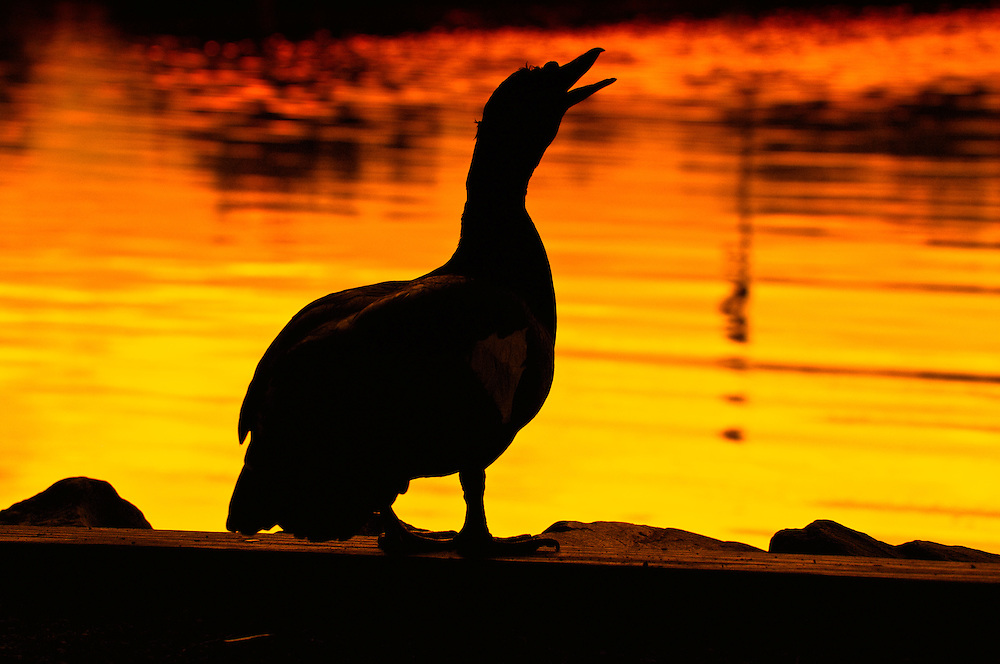 A Muscovy duck at Lake Ella at sunset in midtown Tallahassee, Florida.