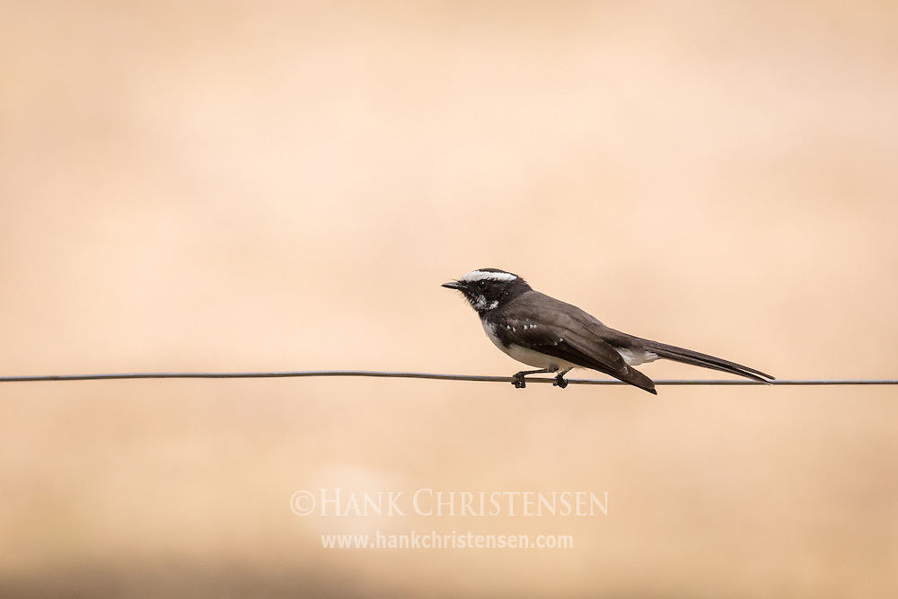 A white-browed fantail perches on a thin wire, Mudumalai National Park, India.