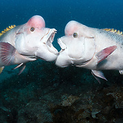 These are two mature male Asian sheepshead wrasses (Semicossyphus reticulatus) fighting over territory during the breeding season. There is a female swimming away from the males in the lower left corner of the frame. During this season, the mature males take on a whitish coloration, particularly when they are approaching female wrasses and when they engage in territorial disputes with other males. The male on the left in this image is Yamato, the dominant male in this area. He is the successor to Benkei. Wrasses are protogynous hermaphrodites, meaning that all individuals start life as females, then eventually turn into males.