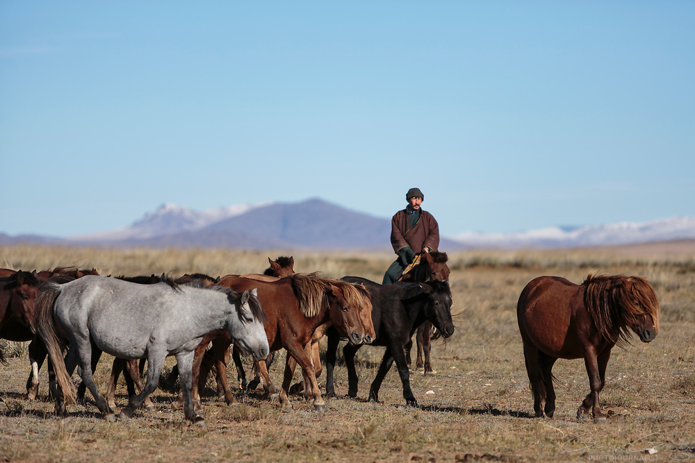 Baak Tulga, a Mongolian nomad, herding horses near his camp on the steppe