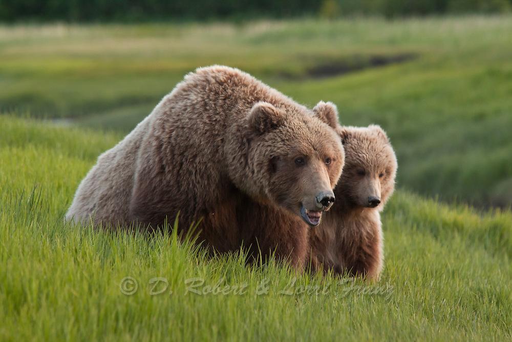 Alaskan brown bear sow with cub in summer