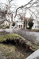 Fallen Tree on Power Line - 2011 Pasadena Wind Storm Damage -  Hill Avenue, Pasadena, California