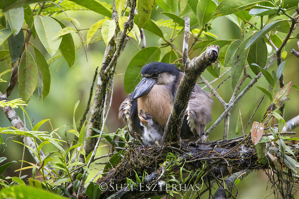 Boat-billed Heron<br /> Cochlearius cochlearius<br /> On nest with two-week-old chicks<br /> Northern Costa Rica, Central America