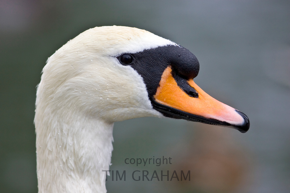 Mute swan  River Windrush,  Burford, UK. Feral birds may be at risk from Avian Flu bird flu virus