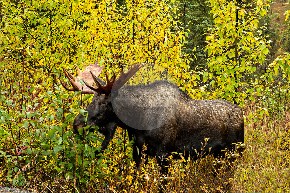 A Moose standing in colorful autumn foliage in Homer, Alaska.