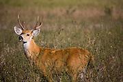 Aquidauana_MS, Brasil...Veado macho da fazenda Rio Negro no Pantanal...The male deer in the Rio Negro farm in Pantanal...Foto: JOAO MARCOS ROSA / NITRO