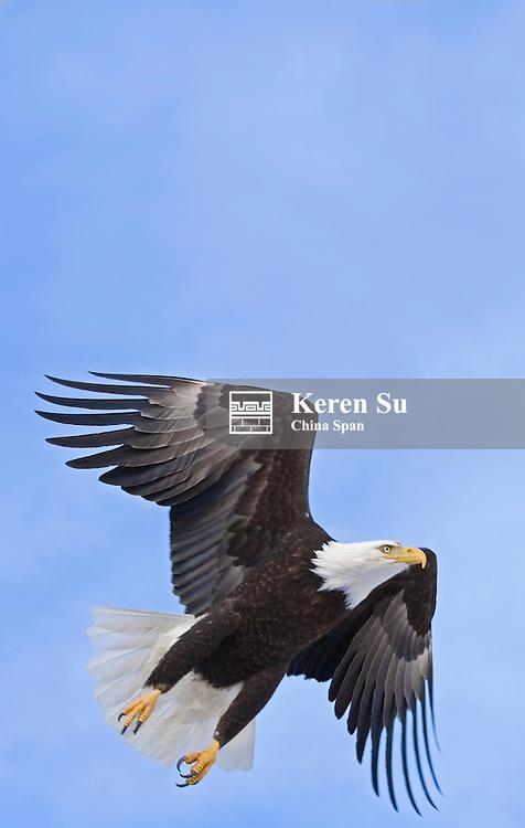Bald Eagle, Alaska, US