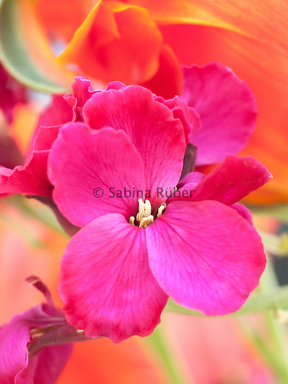 Erysimum 'Giant Pink' with Parrot Tulip 'Orange Favourite'