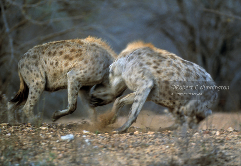 A serious fight between two members of a Hyaena clan (crocuta crocuta)in the late afternoon. Kruger National Park, Mpumalanga, South Africa