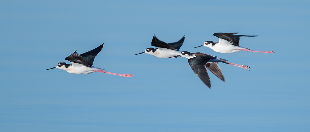 Black-necked stilts in flight over water, Salton Sea, CA, © 2011 David A. Ponton