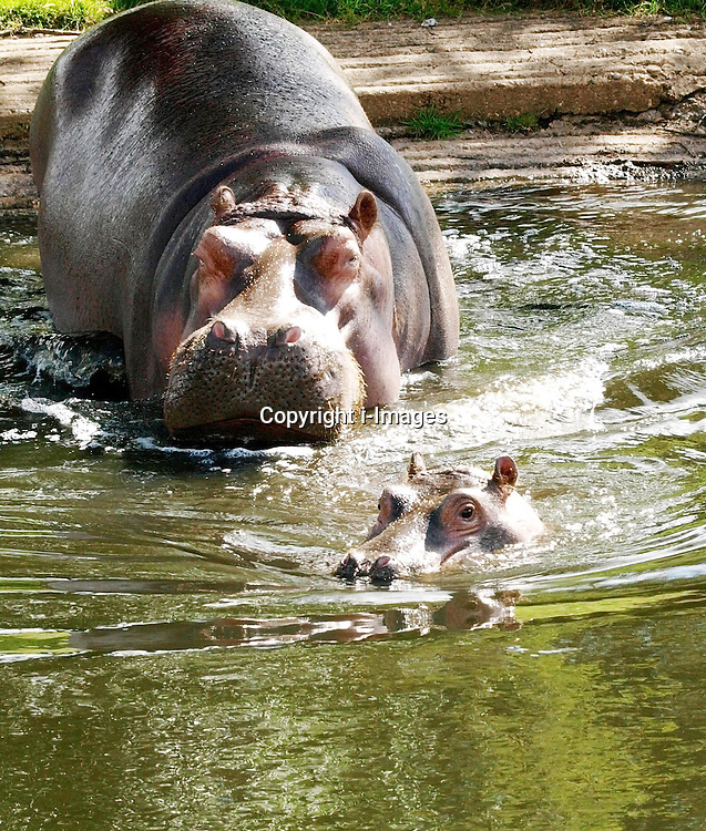 Hula the 10 month old common hippo takes her first dip at the public pool in Whipsnade zoo, UK,  with her Mum Lola,  Monday,  July 30th 2012. Photo by: Max Nash / i-Images