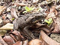 Invasive Cane toad, Kauai