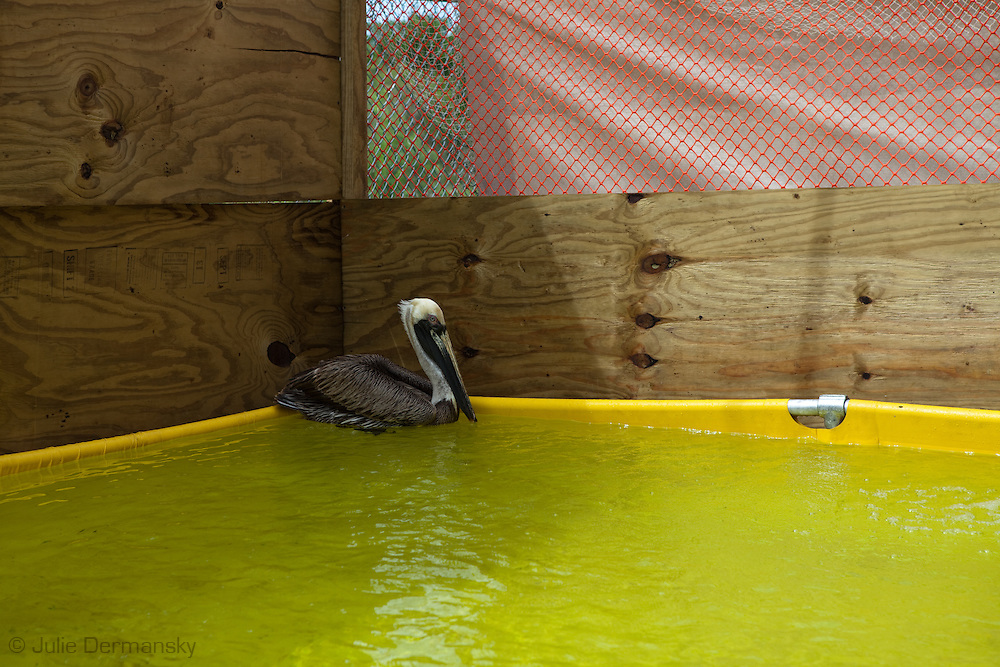 An adult Brown Pelican cleaned by a team from Tri-State Bird Rescue and Research, Inc. hired by B.P. to rescue animals effected by the oil spill  in a cage outside at Fort Jackson in Buras Louisiana.