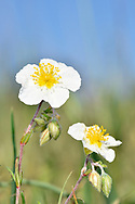 White Rockrose - Helianthemum apenninum