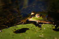 I was paddling on the river when I came across this frog floating in the river near a lilypad.  It remained very still as I floated by and I managed to make some nice images...©2008, Sean Phillips.http://www.Sean-Phillips.com
