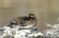 Wood Duck (Aix sponsa) female, Inglewood bird Sanctuary, Calgary, Alberta, Canada   Photo: Peter Llewellyn