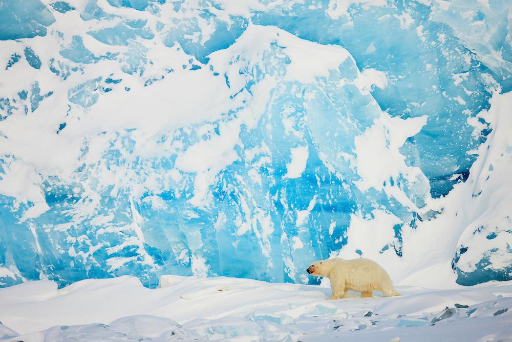 Animals; Arctic; Arktis; Bear; Bears; Bjørner; Carnivora; Carnivores; Glacier; Ice; Isbjørn; Isbre; Isdekke; Norge; Norway; Pattedyr; Polar bear; Rovdyr; Skandinavia; Slettemappe; Snow; Snø; Spitsbergen; Svalbard; Ursidae; Ursus maritimus; Wildlife
