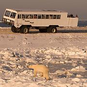 Tourists watching polar bears (Ursus maritimus) from a Tundra Buggy vehicle. Hudson Bay, Churchill, Manitoba, Canada