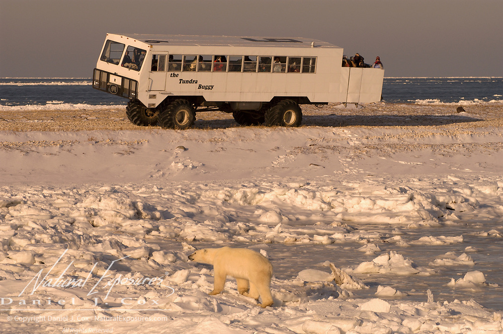 Tourists watching polar bears (Ursus maritimus) from a Tundra Buggy vehicle. Hudson Bay, Churchill, Manitoba, Canada