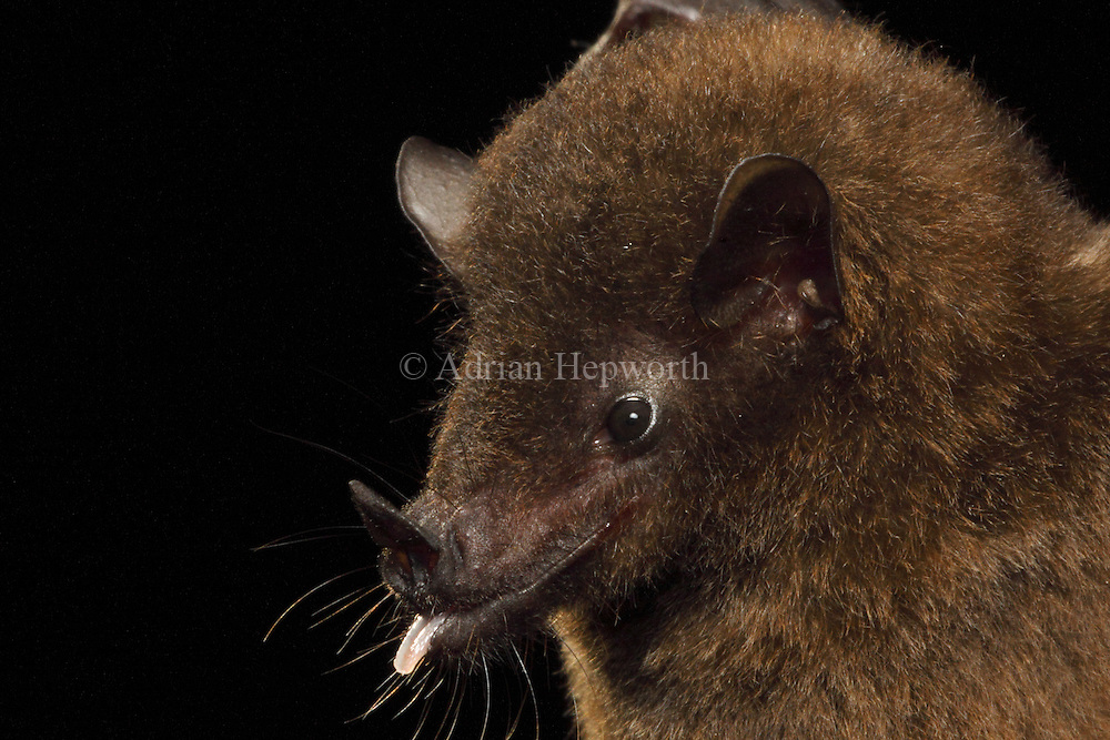 Underwood's Long-tongued Bat (Hylonycteris underwoodi), La Selva Biological Station, Costa Rica. <br />