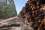 Cutting area of eucalyptus owned by the Fibria Company in the region of São Mateus city, Espírito Santo State - Brazil.<br /> <br /> Área de corte de eucaliptos da Empresa Fibria na região de São Mateus (ES) - Brasil.