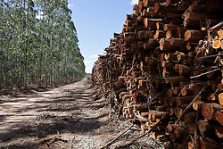 Cutting area of eucalyptus owned by the Fibria Company in the region of S&atilde;o Mateus city, Esp&iacute;rito Santo State - Brazil.<br /> <br /> &Aacute;rea de corte de eucaliptos da Empresa Fibria na regi&atilde;o de S&atilde;o Mateus (ES) - Brasil.