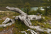 The Lenga trees (Southern Beeches) can grow to 10 meters in height and their skeletons decay slowly in the Patagonian climate.