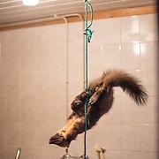 A marten hangs in the shower room of Veikko Väänänen, journalist.
