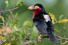 zwartbandbaardvogel