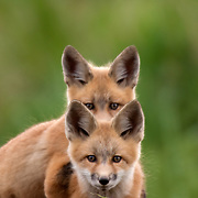 A group of red fox kits playing at sunset.