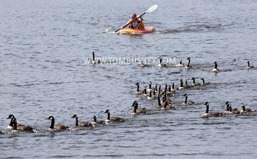 Department of Environmental Conservation wildlife technician Dustin Osborne paddles his kayak while herding Canada geese to the shore of Silver Lake so the geese could be banded on Thursday, June 27, 2013.