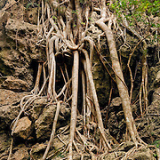 Large Banyan and roots, Kenting, Pingtung County, Taiwan