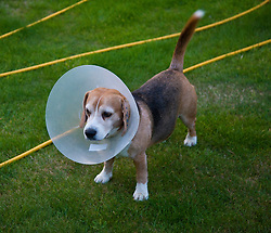 Beagle Dog Wearing Buster Collar