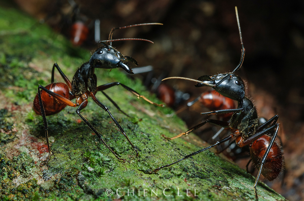 Two Giant Forest Ants (Camponotus gigas) from different colonies confront each other in a territorial dispute.  Rather than engage in full combat, this species usually resolves such conflict in a series of ritualistc fights. Sarawak, Malaysia.