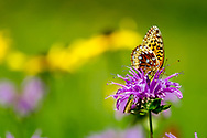 Fritillary butterfly on horsemint blossom, selective focus, black-eyed Susan blossoms in background, mountain meadow, Jemez Mountains, NM. © 2010 David A. Ponton