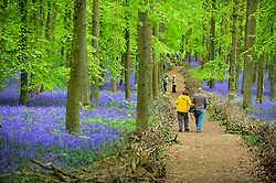 © Licensed to London News Pictures. 30/04/2019. ASHRIDGE, UK. Visitors enjoy the bluebells bloom in Dockey Wood, Hertfordshire.  As the popular location experiences high numbers of visitors, the National Trust has imposed an entrance fee in recent years during busy periods with barricades of twigs and branches to demarcate pathways to protect the delicate flowers from being trampled.  Photo credit: Stephen Chung/LNP