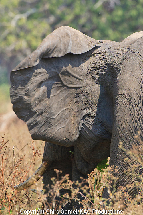 Veins on the back of an elephant's ear.