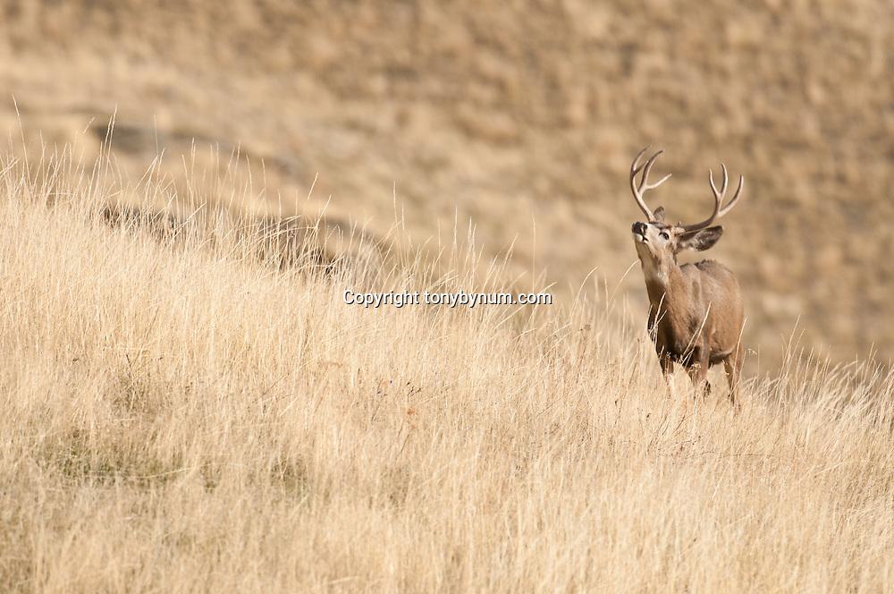 mule deer buck in grass on hillside flemming