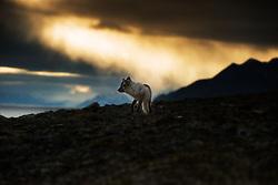 Arctic fox (Alopex lagopus) in Spitsbergen, Svalbard, Norway
