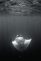 Large magical Pacific manta ray swoops, circles and dives for food in Pohnpei, Micronesia.  These beautiful creatures have white bellies and black backs and composing in black and white makes the gentle giant look like he or she is praying.