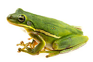 American green tree frog (Hyla cinerea)<br /> United States: Alabama: Tuscaloosa Co.<br /> Tulip Tree Springs off Echola Rd.; Elrod<br /> 7-Jul-2018<br /> J.C. Abbott #3067