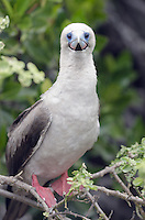 Portrait of Red-footed booby, Sula sula websteri nesting on Genovesa Island in Galapagos National Park and Marine Reserve, Ecuador.