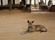 A stray dog rests among the temples of Bagan, Myanmar.