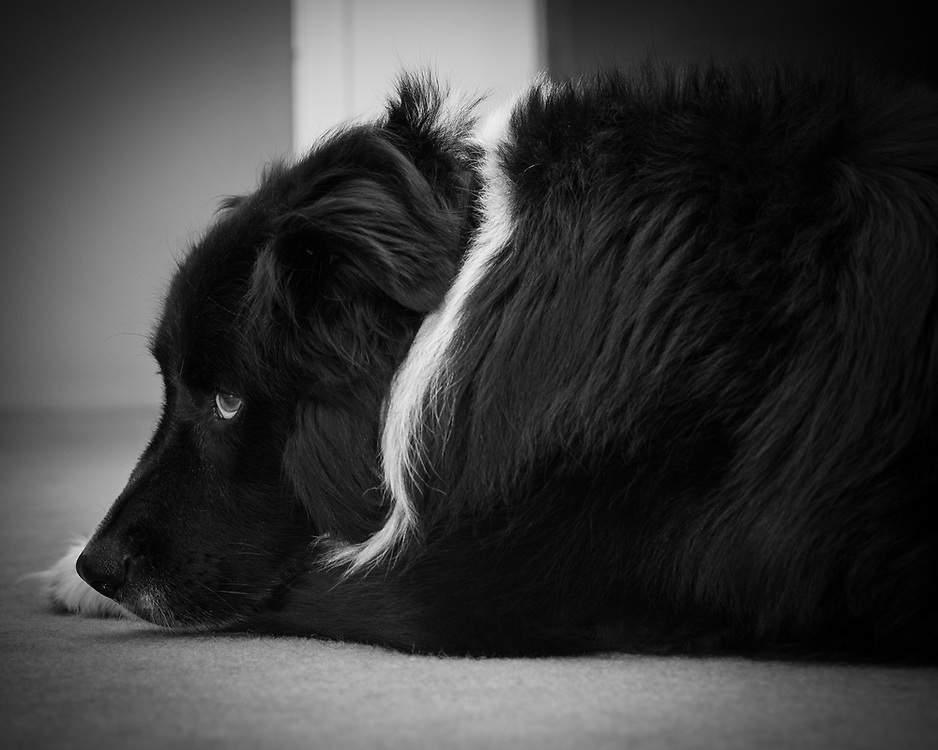 Dog rests on the floor while keeping watch.