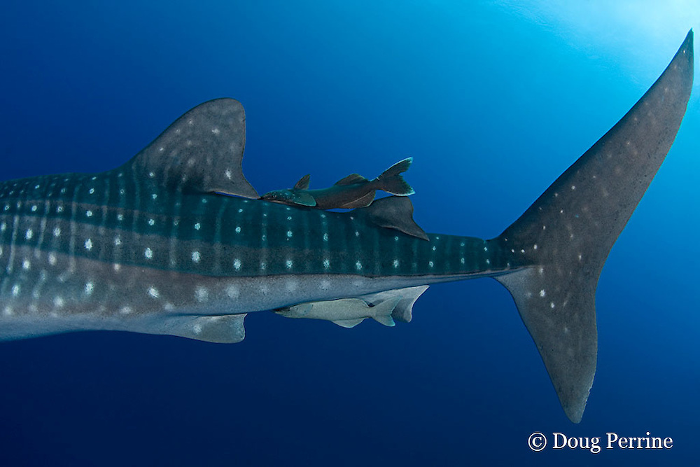 whale shark, Rhincodon typus, with two remoras, or suckerfish, Remora sp., attached to caudal peduncle, Gladden Spit & Silk Cayes Marine Reserve, off Placencia, Belize, Central America ( Caribbean Sea )